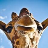 Giraffe tuinposter online bestellen