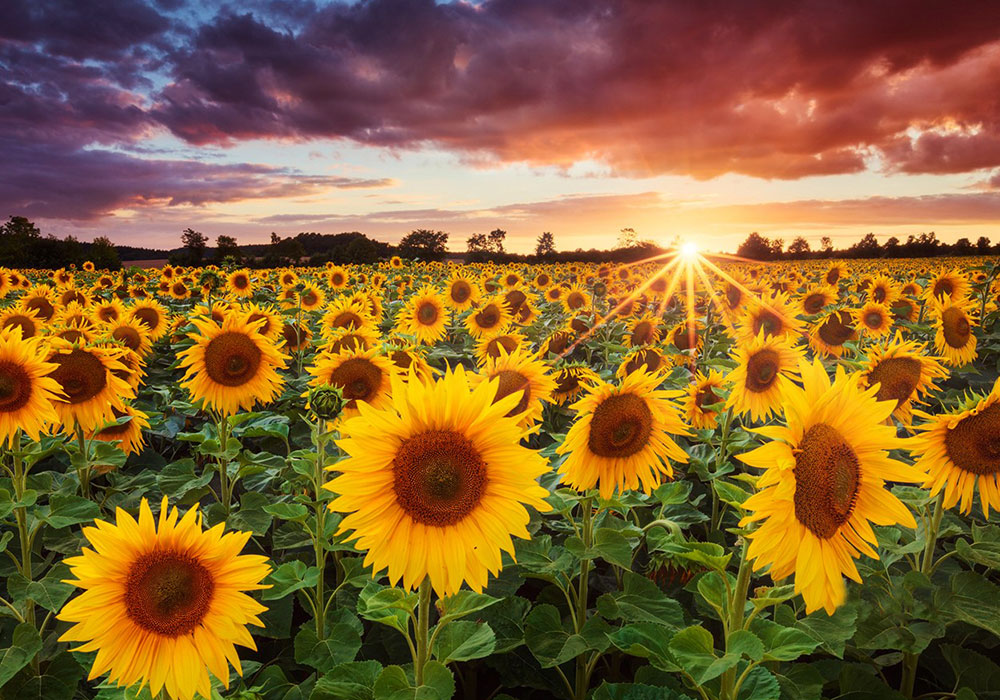 Zonnebloemen op tuindoek online bestellen